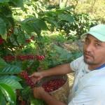 Cosecha-café-COSAGUAL2