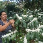 Floración de café